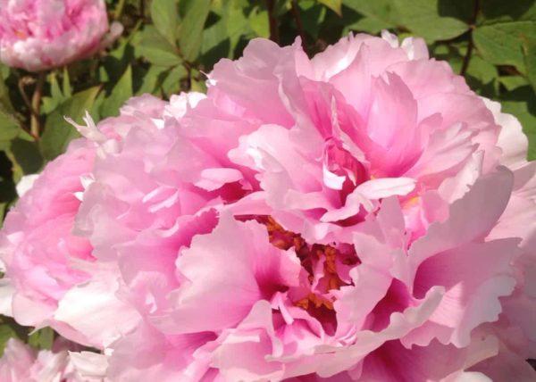 plante-saison-carre-roses-bordeaux