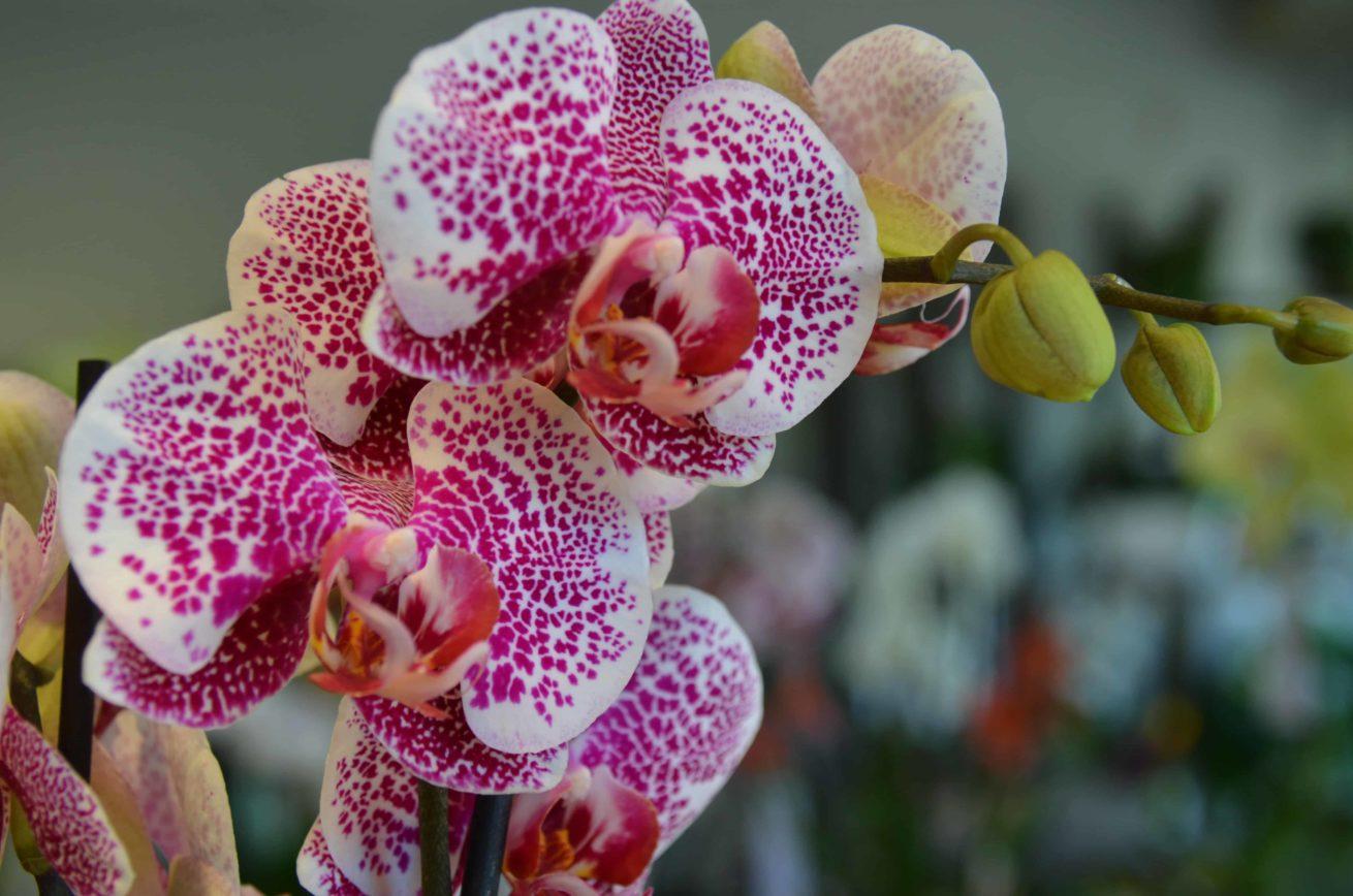orchidée bordeaux Variété Phalaenopsis Carré Roses Fleuriste Bordeaux