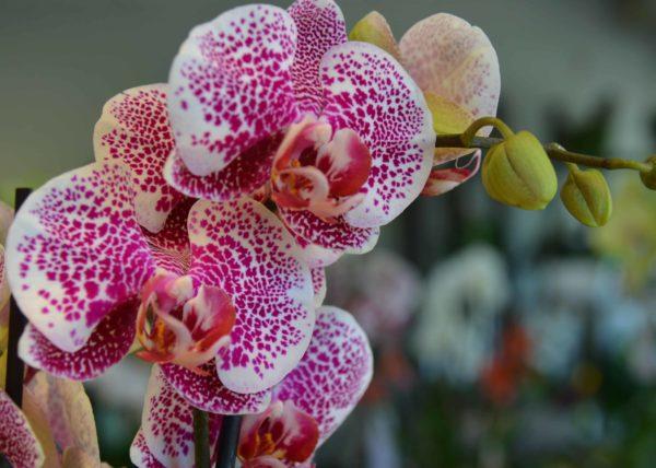 orchidées-carre-roses-floirac
