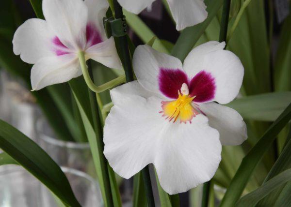 orchidée bordeaux Variété Miltonia Orchidée Pensee Carré Roses Fleuriste Bordeaux