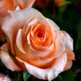 Roses-commerce-equitable-bordeaux