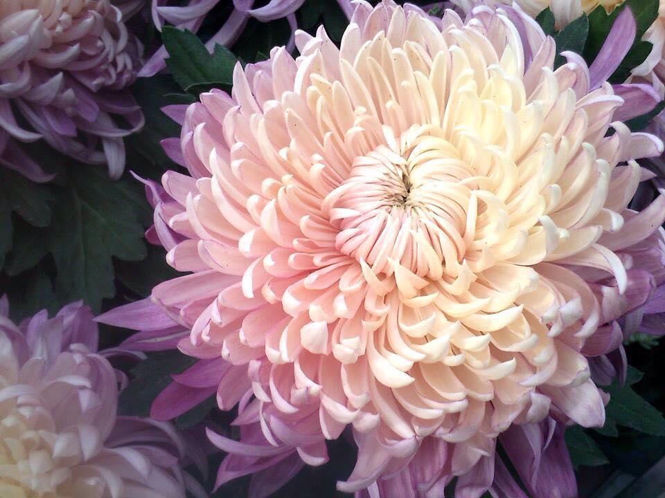 Chrysanthèmes, fleurs de la Toussaint - Carré Roses ...