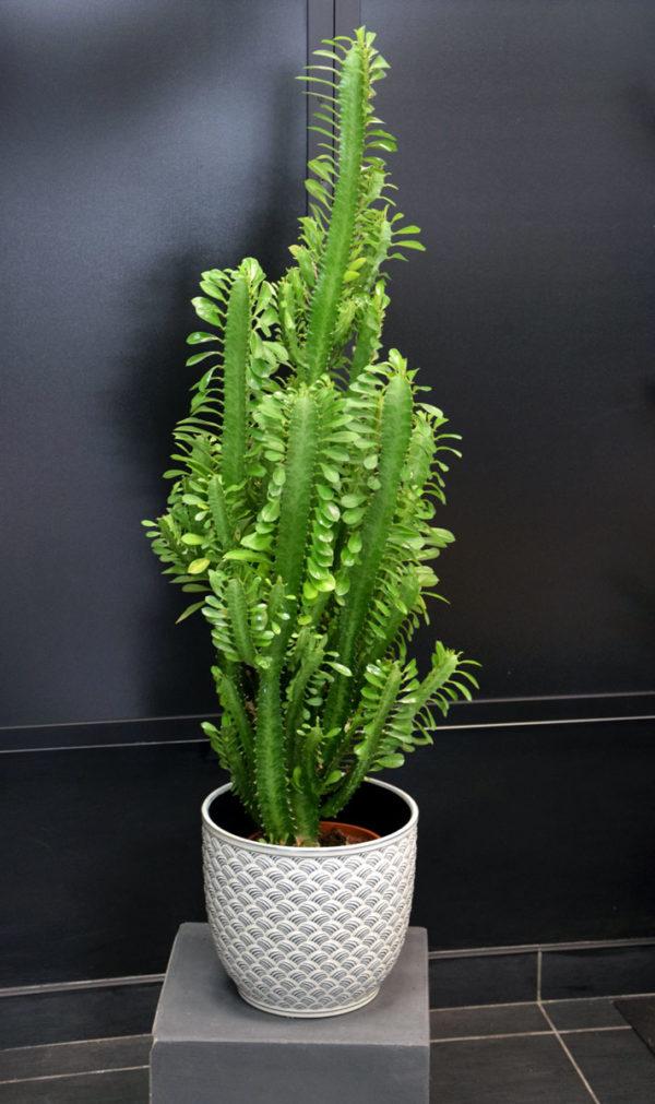 cactus fleuriste bordeaux bègles