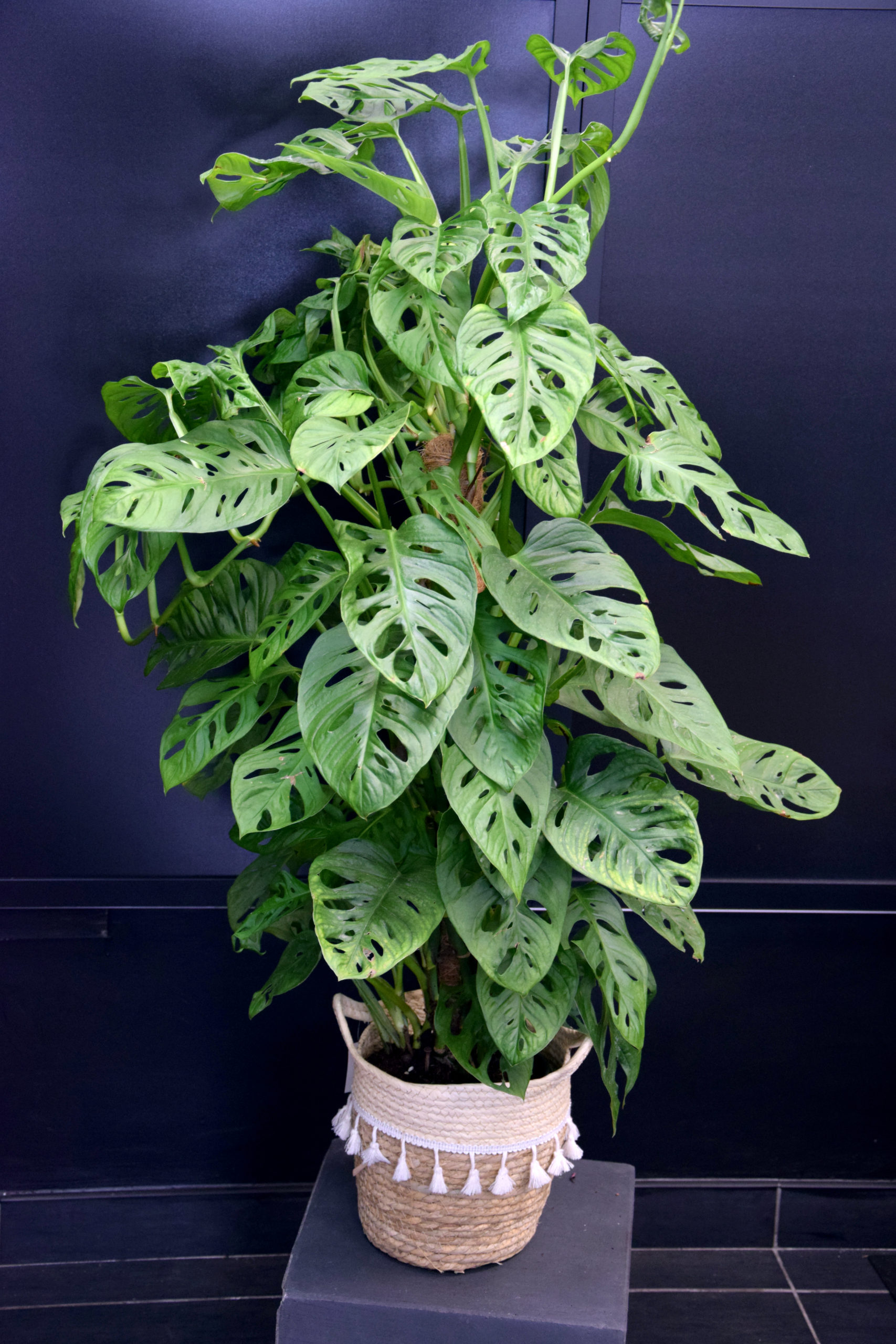 plante fleuriste bègles philodendron